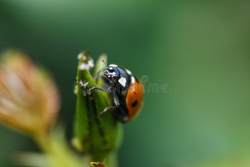 爬上植物的瓢虫 免版税图库摄影
