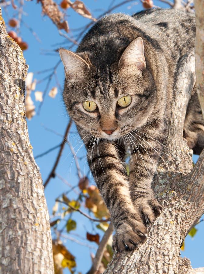 爬下来灰色平纹结构树的猫 库存照片