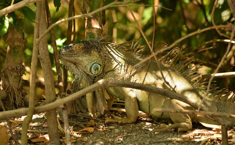 爬出树的鬣鳞蜥在哥斯达黎加的雨林里 库存照片