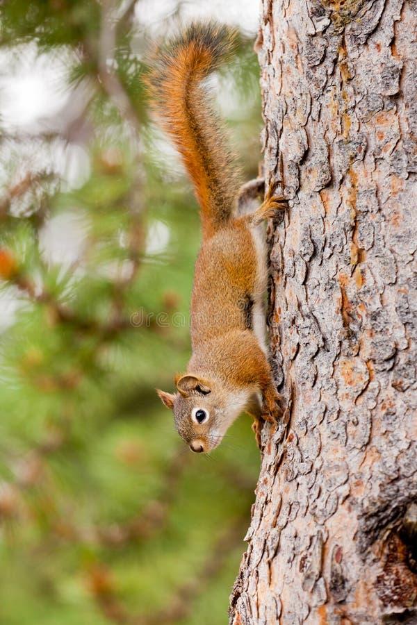 爬好奇逗人喜爱的红松鼠结构树的美国人 免版税库存照片