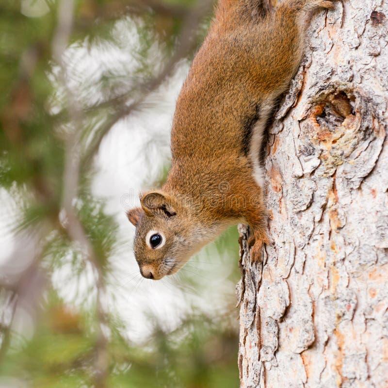 爬好奇逗人喜爱的红松鼠结构树的美国人 免版税库存图片