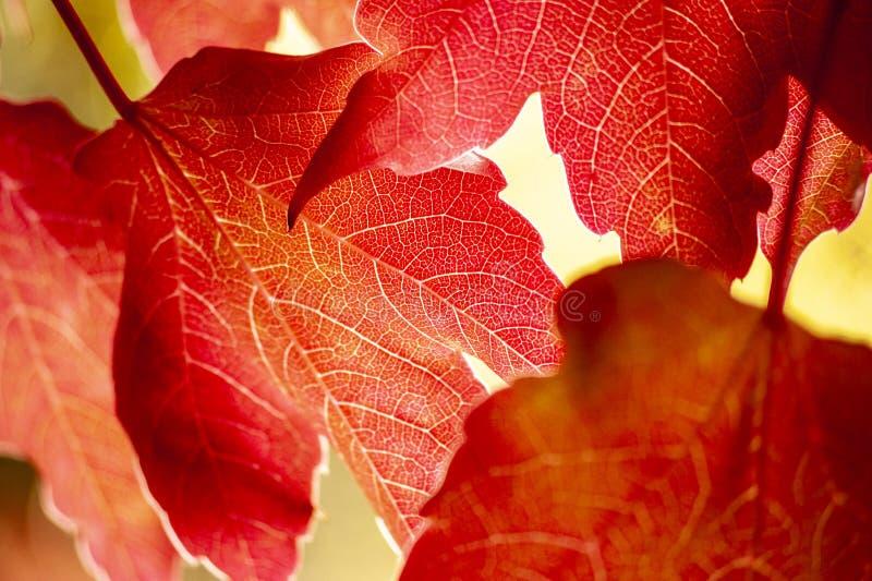 爬山虎属quinquefolia弗吉尼亚爬行物,维多利亚爬行物,在后照的五有叶的常春藤叶子 库存照片