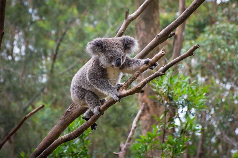 爬树的一只野生考拉 免版税库存图片