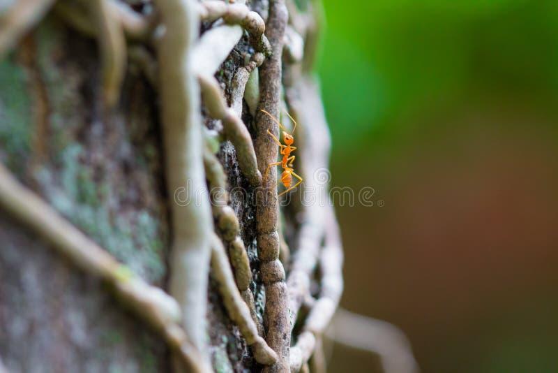 爬树的孤立织布工蚂蚁 免版税图库摄影