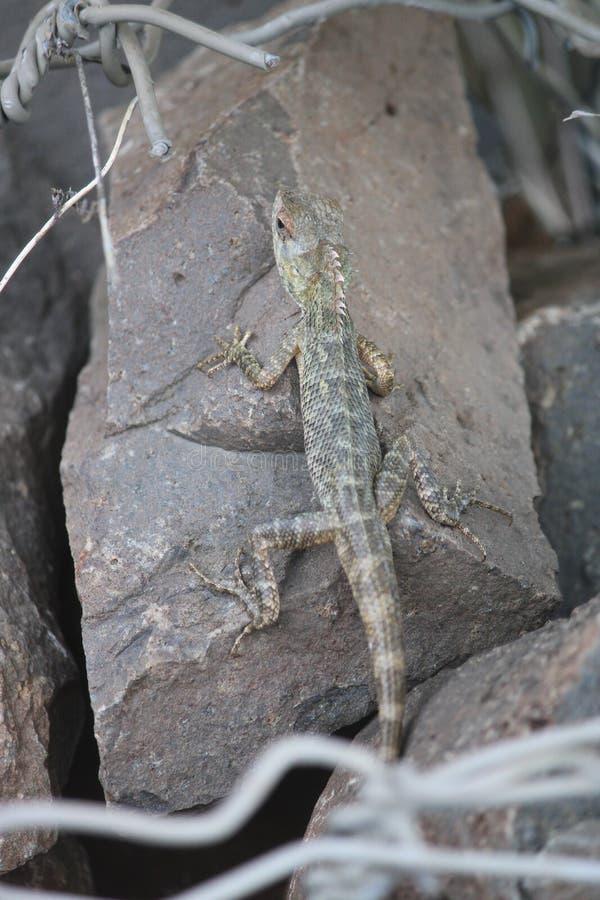 爬行动物在尝试对cahnge颜色的密林 免版税图库摄影