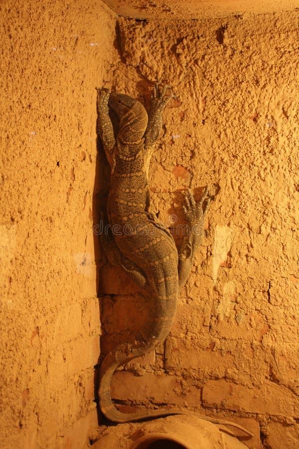 爬行动物撒哈拉大沙漠 库存照片