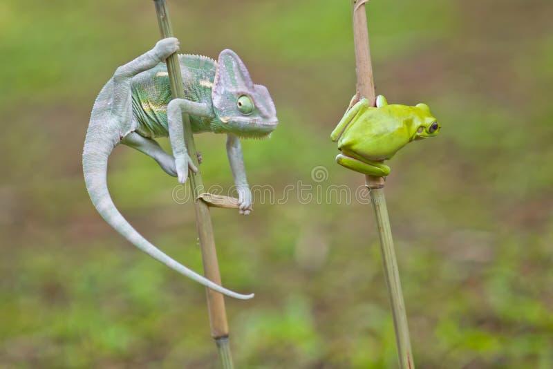 爬行动物,动物,变色蜥蜴,青蛙,雨蛙,矮胖的青蛙, 库存照片