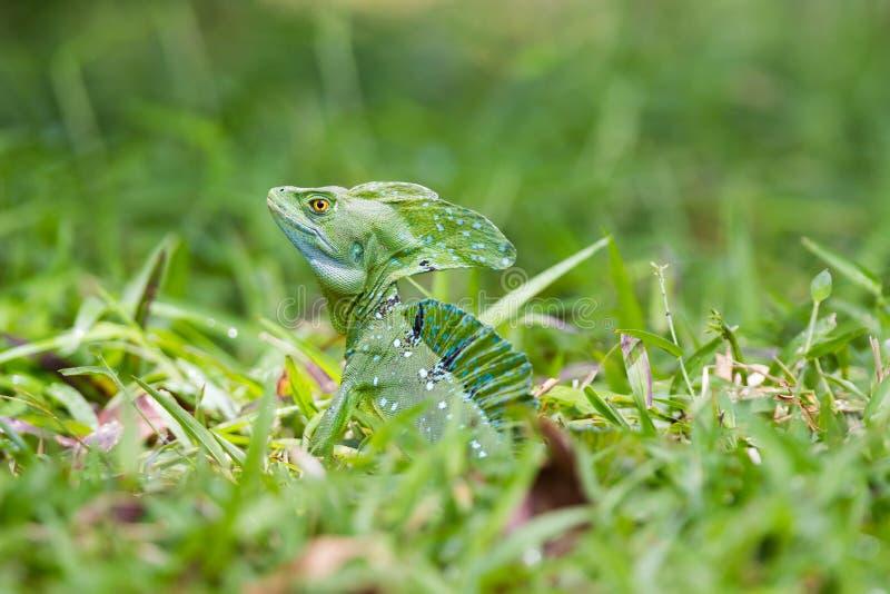 爬行动物,幼小绿色鬣鳞蜥特写镜头头在一个草草甸在哥斯达黎加 免版税库存照片