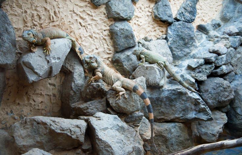 爬行动物-鬣鳞蜥 库存照片