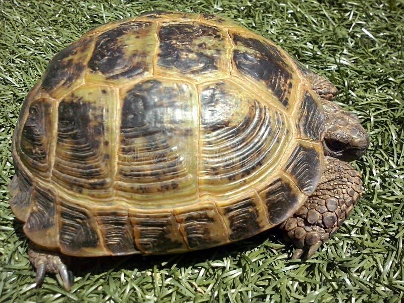 Download 爬行动物 库存图片. 图片 包括有 晒日光浴, 乌龟, 绿色, 俄语, 爬行动物 - 72361487