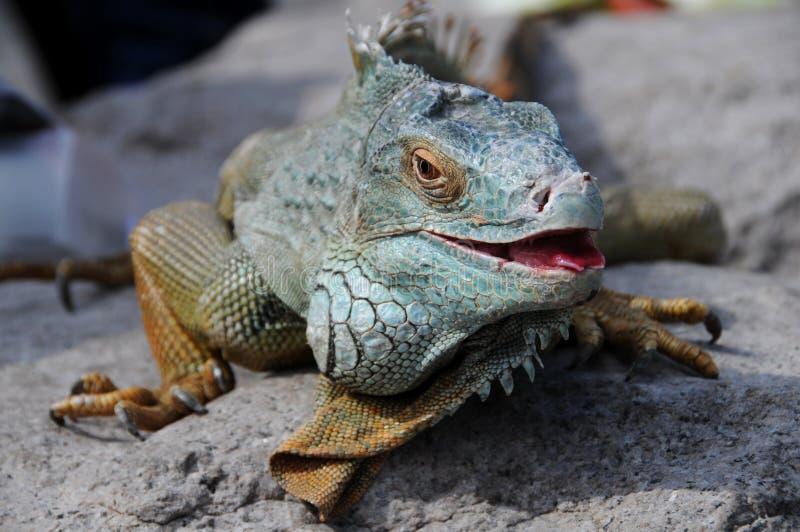 爬行动物 免版税库存图片