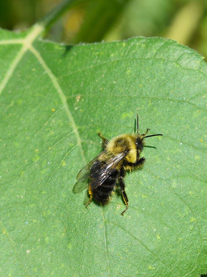 爬行在一片向日葵叶子的蜂蜜蜂在秋天天在Littleton,马萨诸塞,密德萨克斯郡,美国 新英格兰秋天 图库摄影