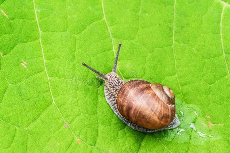 爬行在一片绿色叶子的蜗牛 免版税库存图片