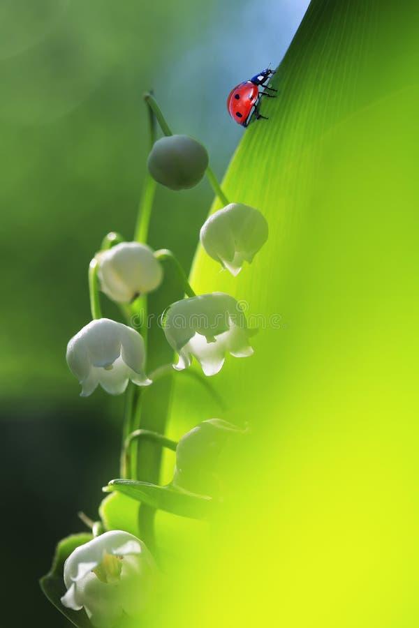 爬行在一绿色茂盛植物芬芳whi的小的红色瓢虫 图库摄影