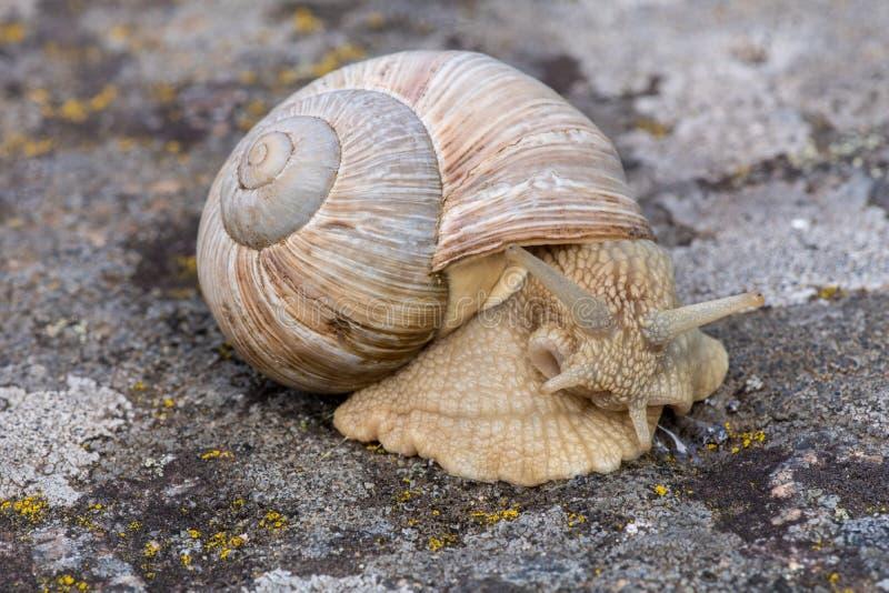 爬行在岩石的一只大蜗牛的特写镜头 免版税库存照片