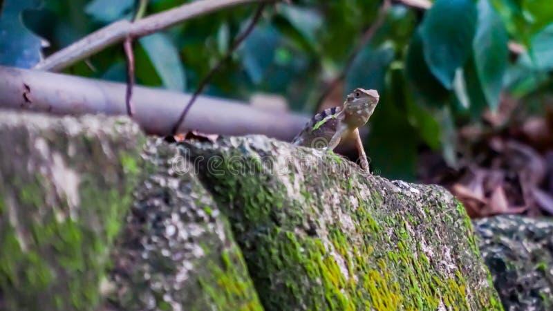 爬行在庭院里的一只野生壁虎,寻找昆虫 库存照片