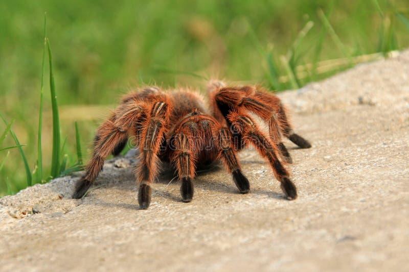 爬行在庭院,智利里的大棕色罗斯头发塔兰图拉毒蛛 图库摄影