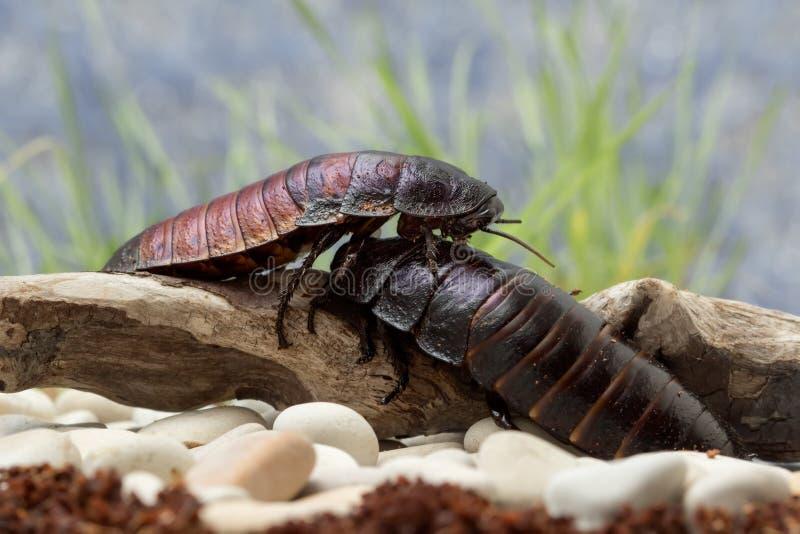 爬行在日志的马达加斯加蟑螂 库存图片