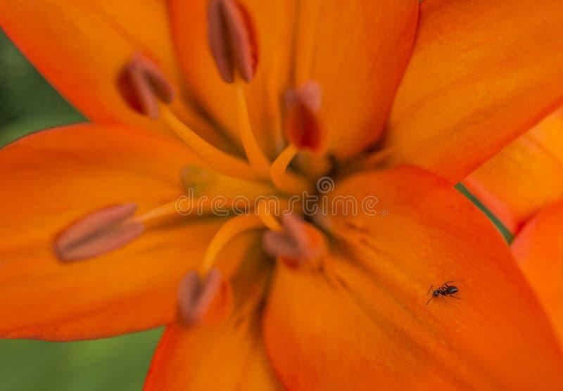 爬行在明亮的橙色百合的蚂蚁 免版税库存照片