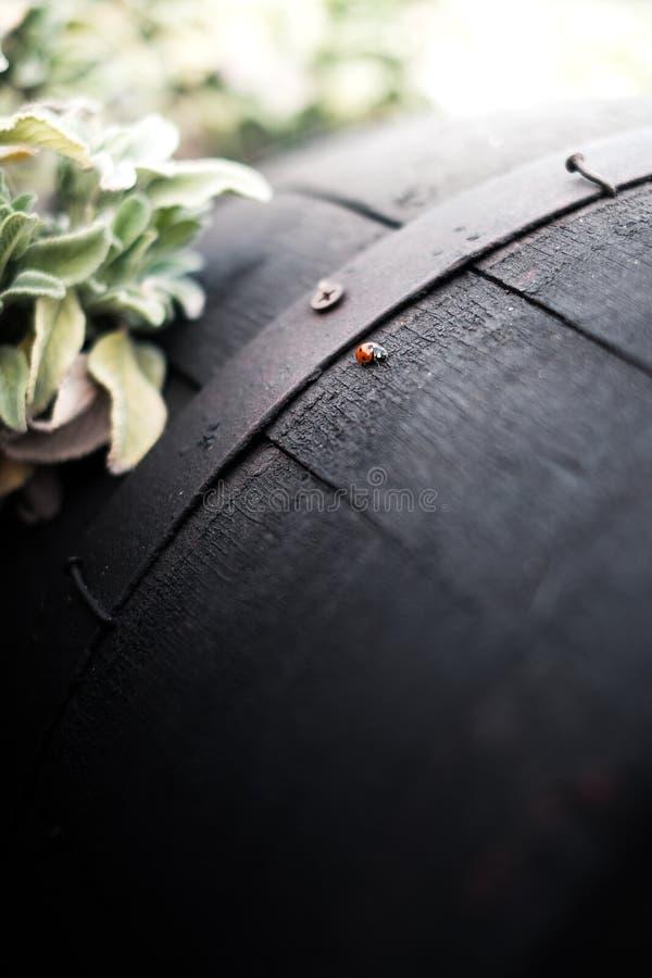爬行在桶的瓢虫 免版税库存图片