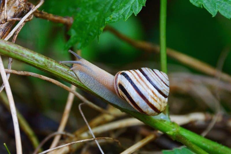 爬行在植物的湿绿色分支的布朗蜗牛 库存图片