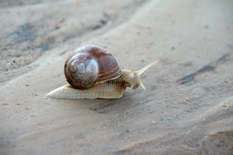 爬行在沙子的蜗牛 库存照片