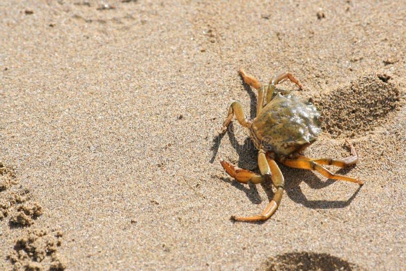 爬行在海滩的螃蟹 免版税库存图片