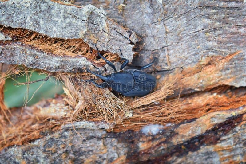 爬行在烂掉注册El伊甸园,巴亚尔塔港在宏指令,详细的看法的密林路的大黑甲虫在墨西哥 库存照片
