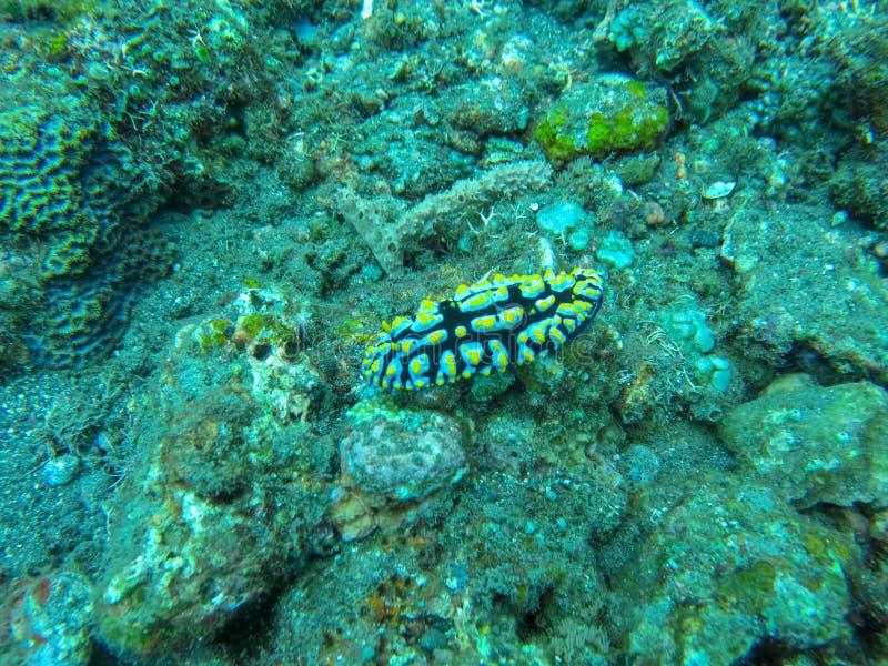 爬行在珊瑚礁的五颜六色的Nudibranch Dorid nudibranch,与鳃的Phyllidia sp五颜六色的海参 免版税图库摄影