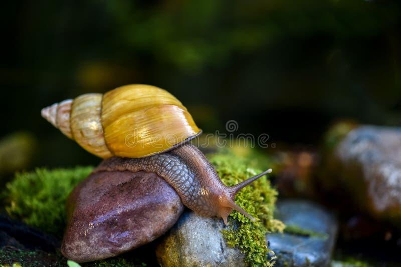 爬行在石头的大Achatina蜗牛 免版税图库摄影