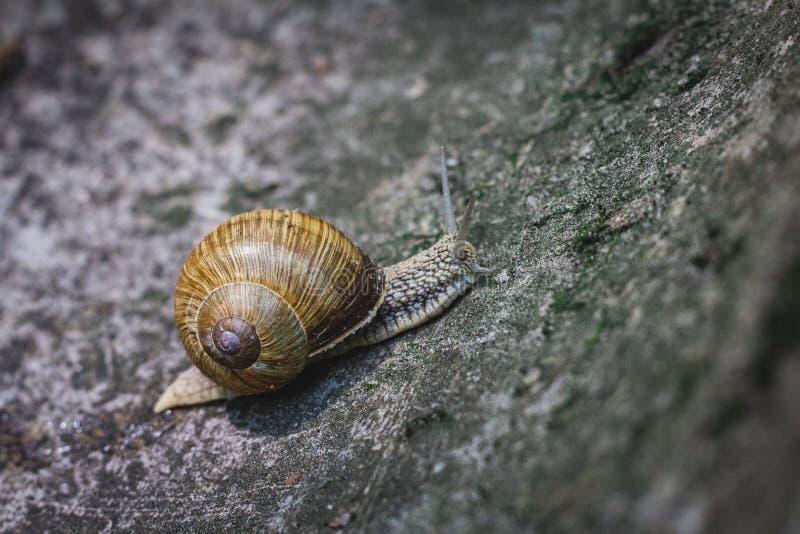 爬行在石流失的特写镜头蜗牛 库存照片
