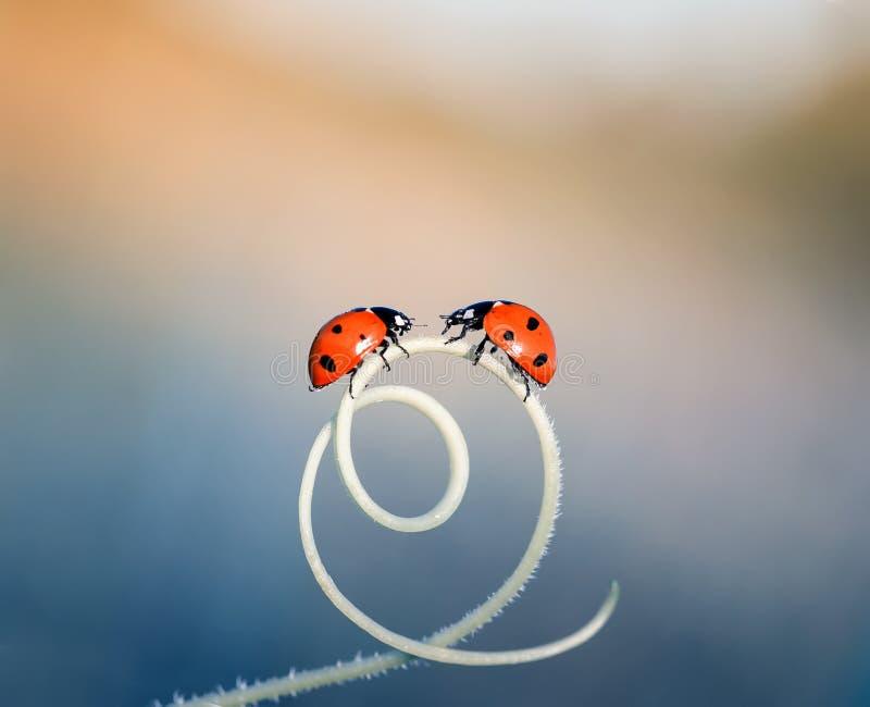 爬行在绕草叶的两只小的瓢虫在a的 库存图片
