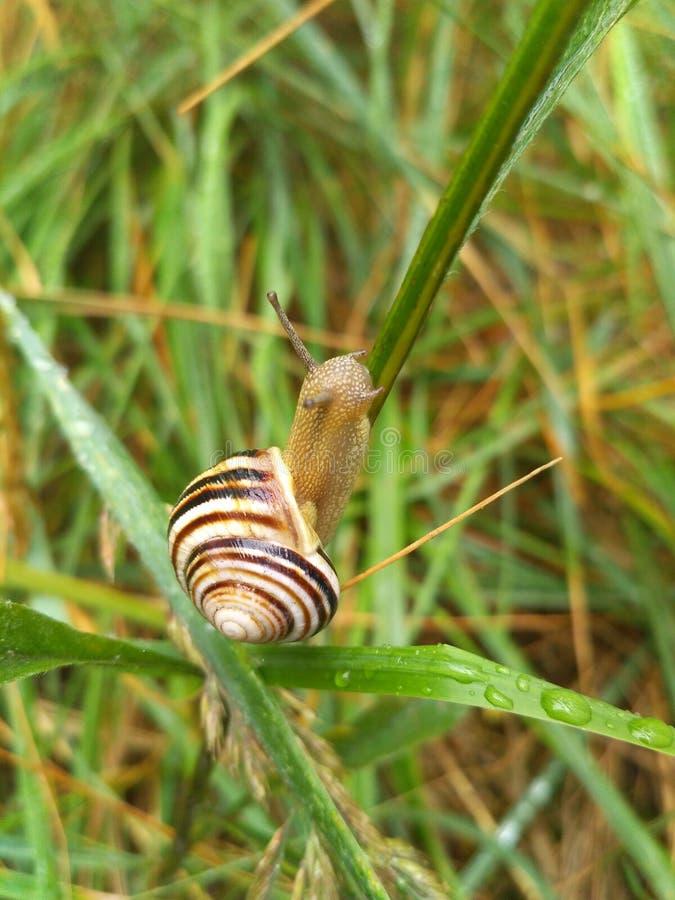 爬行在草的蜗牛在森林里 免版税库存照片