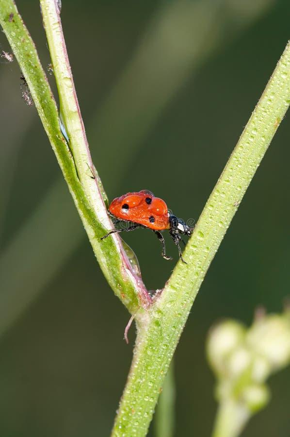爬行在草的满地露水的瓢虫 免版税库存图片