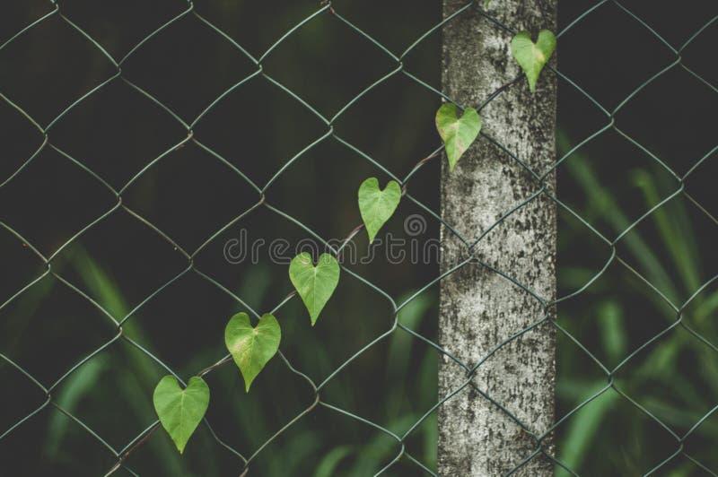 爬行篱芭的心形的藤 库存图片