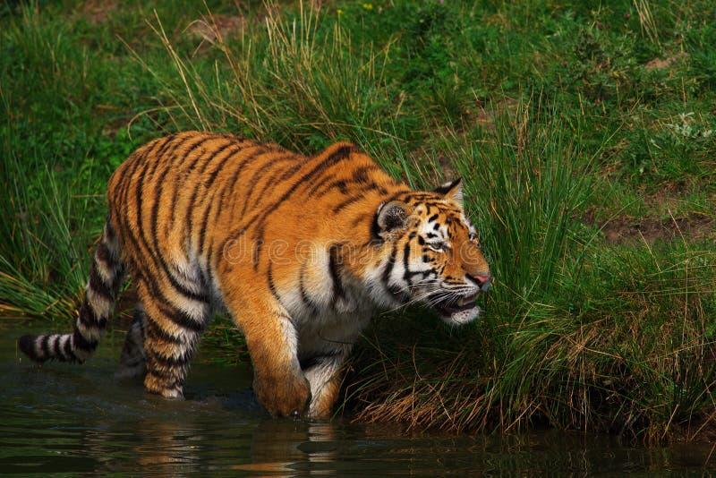 爬行西伯利亚老虎 免版税库存图片