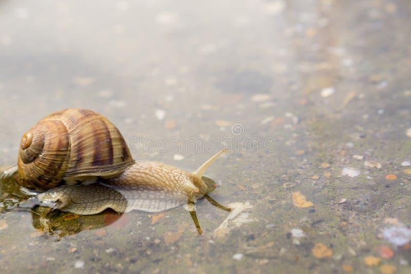 爬行通过在混凝土的水的蜗牛在雨以后 45弹药口径关闭手枪 库存图片