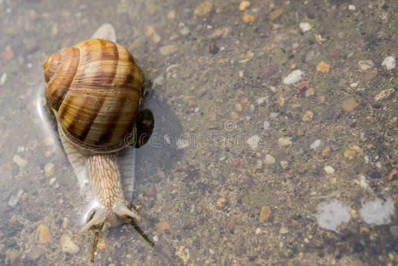 爬行通过在混凝土的水的蜗牛在雨以后 45弹药口径关闭手枪 图库摄影