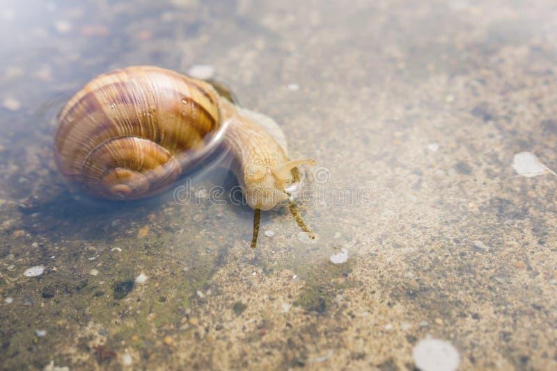 爬行通过在混凝土的水的蜗牛在雨以后 45弹药口径关闭手枪 库存照片