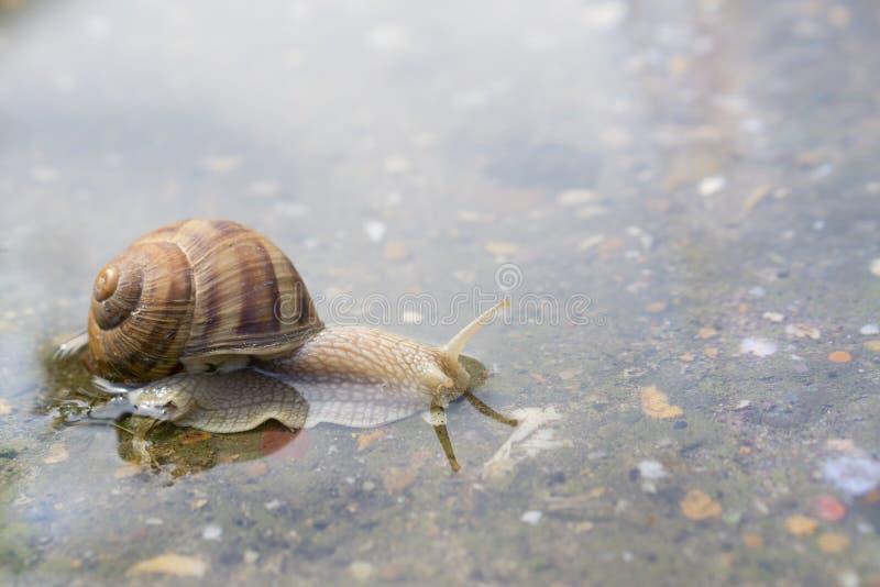 爬行通过在混凝土的水的蜗牛在雨以后 45弹药口径关闭手枪 免版税库存图片