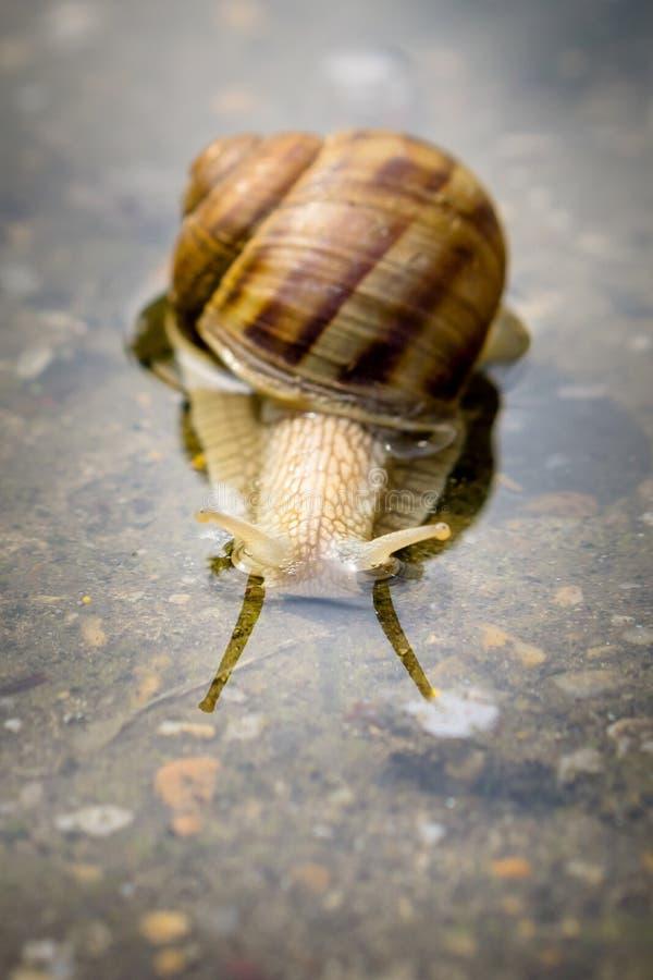 爬行通过在混凝土的水的蜗牛在雨以后 45弹药口径关闭手枪 免版税图库摄影