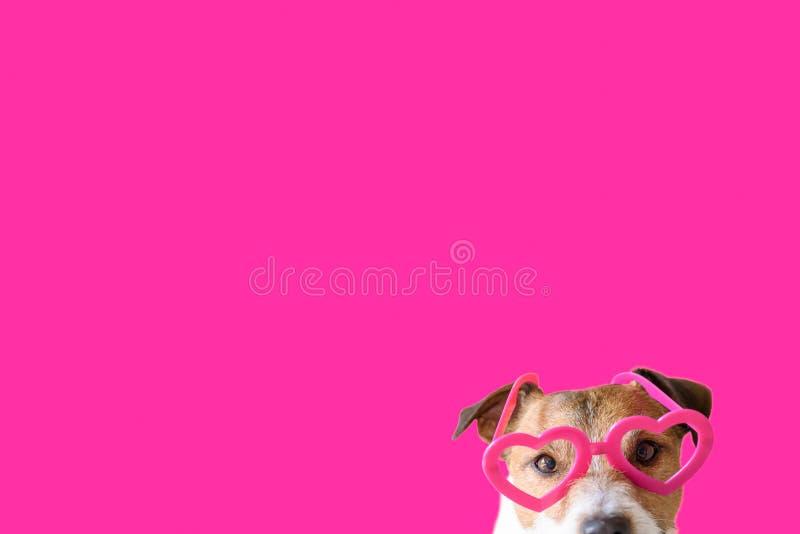 爱、浪漫史和情人节概念与狗佩带的心形的桃红色玻璃反对颜色背景 库存照片