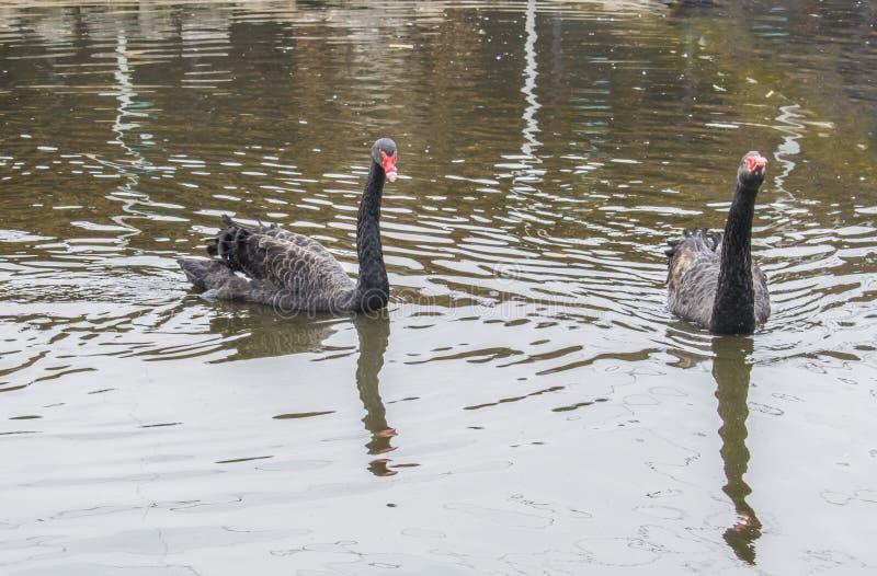 爱一个对黑天鹅 两黑天鹅游泳在湖 免版税库存图片