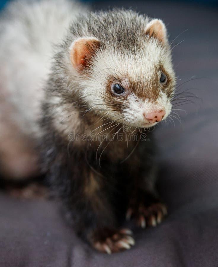 爱偷懒在阳台的色的白鼬愉快地微笑和清洗它的兽皮的 免版税库存图片