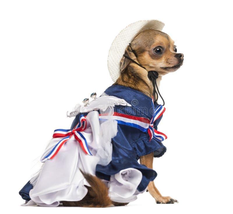 爱国奇瓦瓦狗开会的侧视图 图库摄影