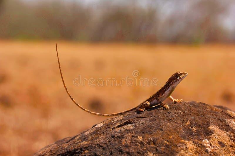 爱好者红喉刺莺的蜥蜴, Sitana laticeps,戈尔哈布尔,印度 图库摄影