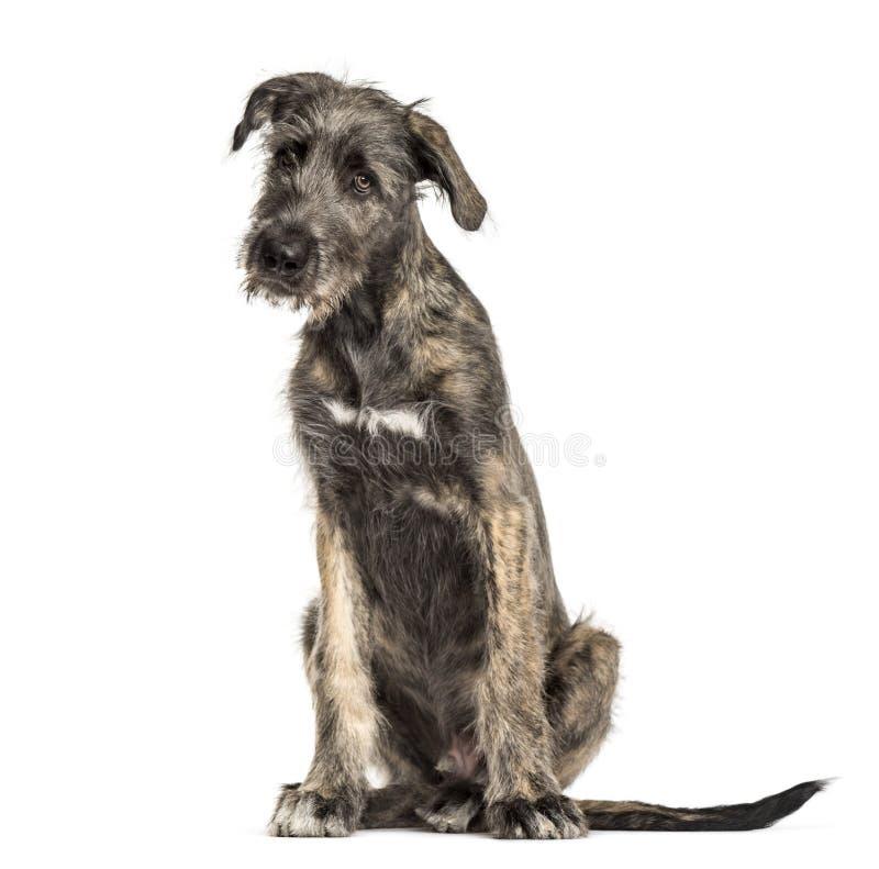 爱尔兰猎犬狗,开会,被隔绝 免版税库存照片