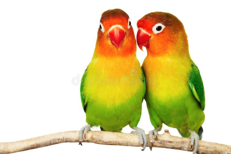爱情鸟对 库存图片