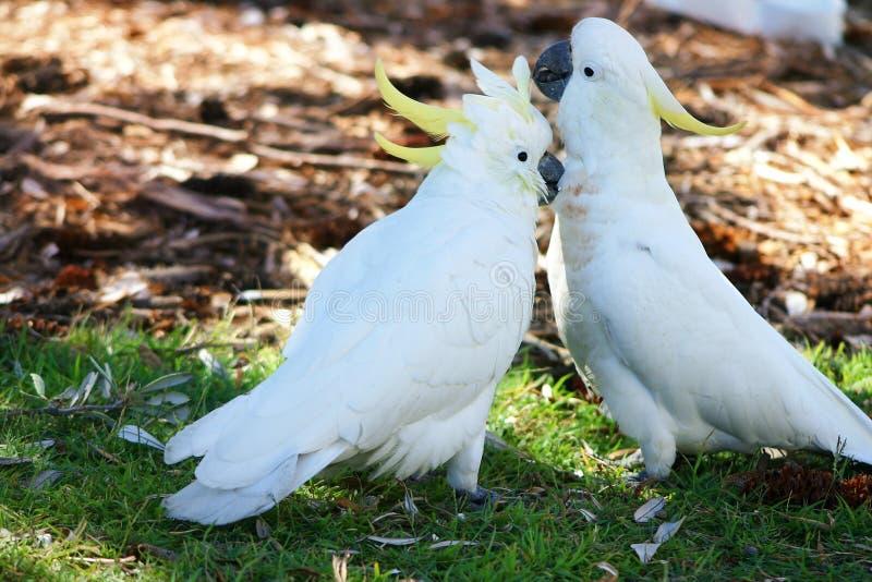 爱抚的美冠鹦鹉
