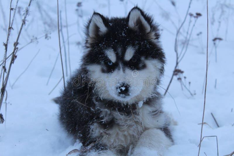 爱斯基摩在多雪的森林里 免版税库存照片